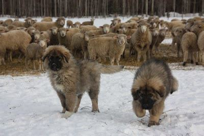 Winter Care for Working Farm Dogs - Homesteading and