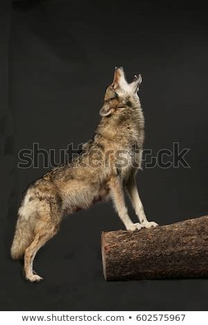 Wolf Howling Stock Images, Royalty-Free Images & Vectors